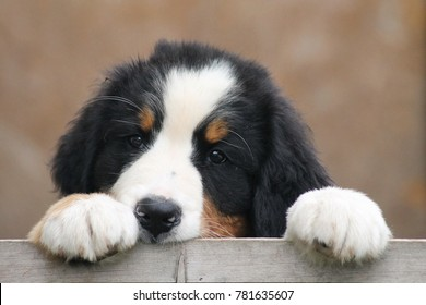 Bernese mountain dog puppy in kennel. Cute puppy posing outside.