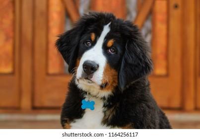 Bernese Mountain Dog puppy outdoor portrait in front of wood door