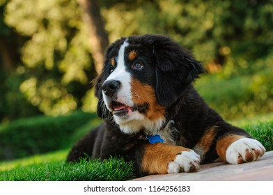 Bernese Mountain Dog puppy outdoor portrait lying down in grass