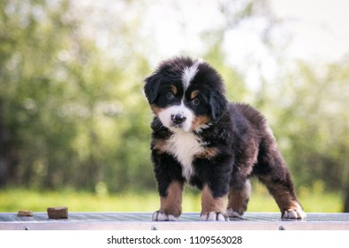Bernese mountain dog puppy outside. So cute and small bernese puppy.