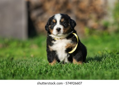 bernese mountain dog puppy sitting on grass