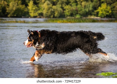 Bernese mountain dog is ranning to the watter. Dog jumping in the water.