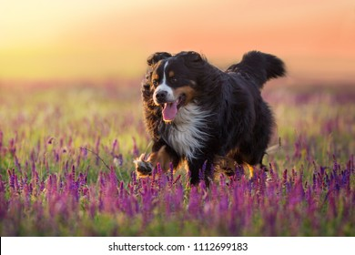 Bernese Mountain Dog run in violet flowers field at sunset light