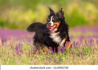Bernese Mountain Dog run in violet flowers field