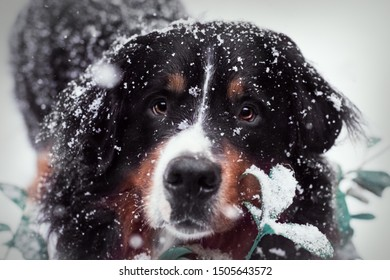Bernese Mountain dog seeing snow sorrounded by snowflakes and withe big beautiful eyes