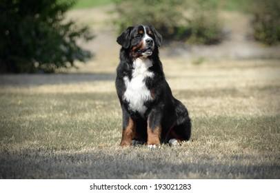 Bernese Mountain Dog sitting on the ground