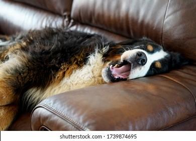 Bernese Mountain Dog sleeping on the sofa, yawning.