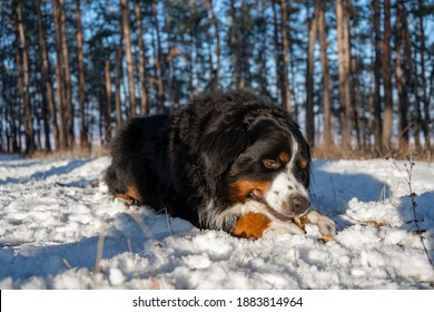 bernese mountain dog with snow on a nose on winter snowy weather. funny pet lying in the snow drifts
