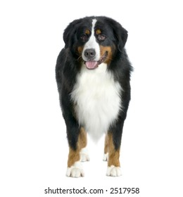Bernese mountain dog standing in front of white background and facing the camera