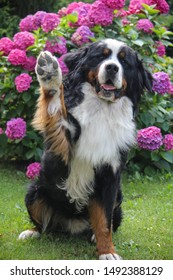 Bernese mountain dog waving at you!