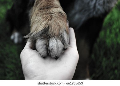 Bernese mountain dog's paw