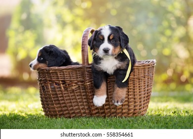 bernese mountain puppy in a basket outdoors