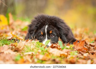 Bernese mountain puppy lying on the leaves in autumn