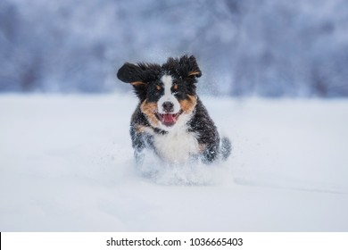 Bernese mountain puppy running in the snow in winter