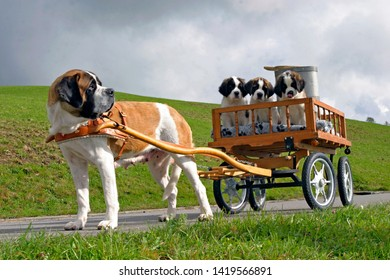 Bernhard Dog female pulling wagon with three puppies on country road