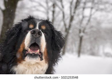 Bernse mountain dog portrait in winter.