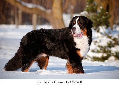bernse mountain dog portrait in winter