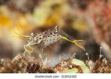 Berried Urocaridella shrimp in Gorontalo, Indonesia underwater photo. Its called berried, means the shrimp get eggs.