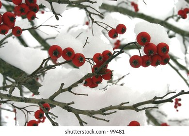 Berries after Snow