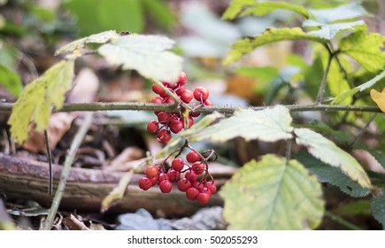 English Woodland Berries Images, Stock Photos & Vectors