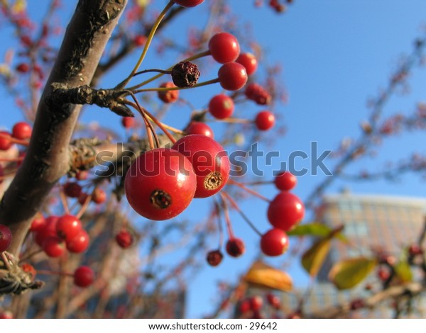 Berries in Battery Park, NYC