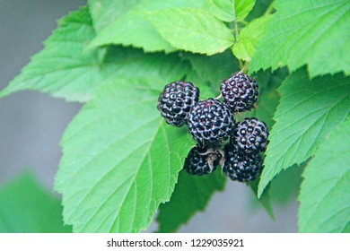 Berries of black raspberry hang on bush. Ripe Rubus occidentalis on branch. Closeup of ripe raspberry. Harvest of Rubus occidentalis