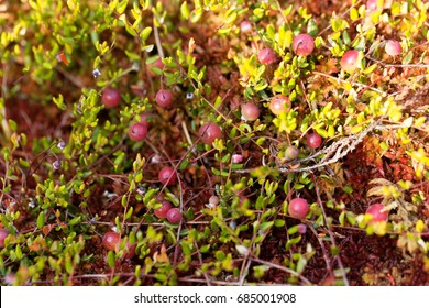 Berries of a Bog cranberry, Vaccinium oxycoccos, a small wild cranberry from Europe and Asia.