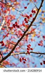 Berries branch on a tree. Autumn close-up image.
