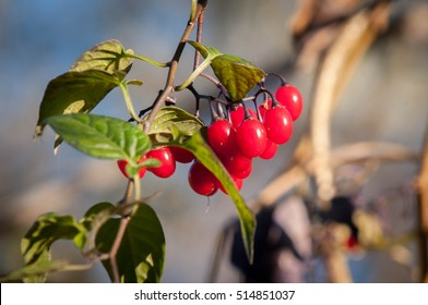 Berries Of Deadly Nightshade In The Fall