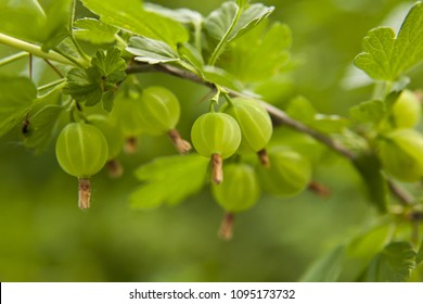 berries of gooseberries on a bush in the garden as a background