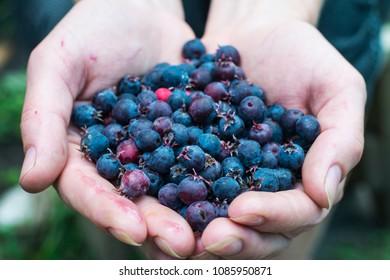 Berries in the hands. Black ripe berries. Blueberry.