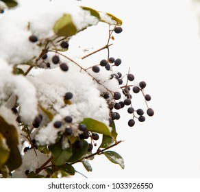 Berries of a Hedge with snow, horizontal image