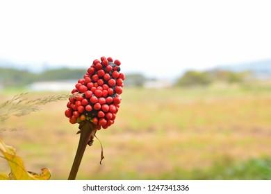 Berries of Jack in the pulpit (Arisaema serratum) in japanese autumn