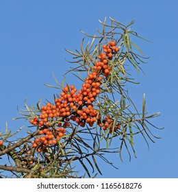 Berries and leaves of the common sea buckthorn (Hippophae rhamnoides) with blue sky