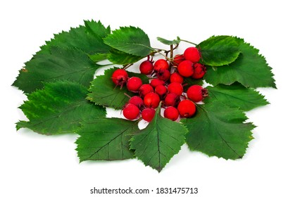 Berries and leaves of hawthorn (Crataegus), also known as quickthorn, thornapple, May-tree, whitethorn or hawberry isolated on a white background.