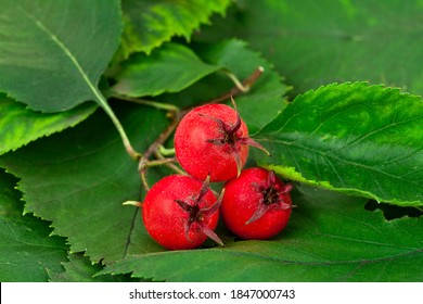 Berries and leaves of hawthorn (Crataegus), also known as quickthorn, thornapple, May-tree, whitethorn or hawberry on a leaves background.