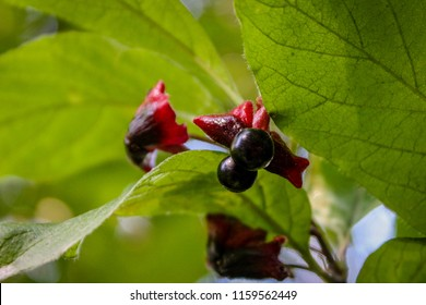 Berries   Located near Spruce Grove & Stony Plain at Chickakoo Lake in Parkland County, Alberta, Canada.