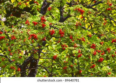Berries of a mountain ash against foliage
