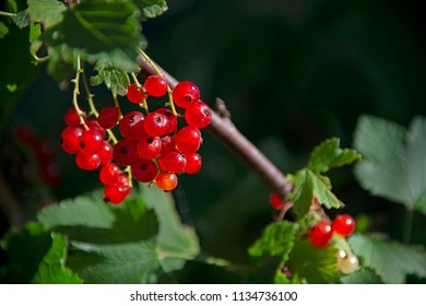 BERRIES: red currant against a dark background