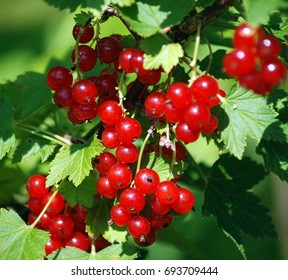 Berries of red currants against the background of green leaves