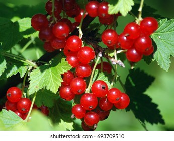 Berries of red currants against the background of green leaves (close up)