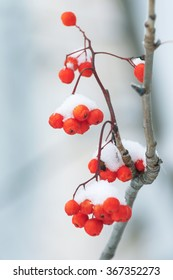 Berries red mountain ash covered with snow