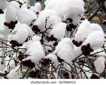 Berries of red viburnum on a branch in the snow