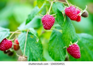 Berries of ripe juicy raspberries on the branch. Raspberry crop close up.