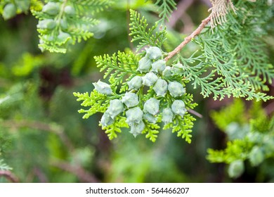 Berries ripen on the branches of a juniper