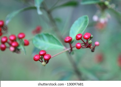Berries of a ripening ginseng. Vietnam