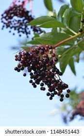 "Berries of ""Sambucus Nigra"" (Black Elderberry) - Fruit cluster hanging from a tree"