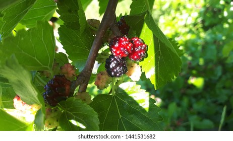 Berries, summer fruit on branch. Mulberry tree. Fresh mulberry. Black ripe and red unripe mulberries on the branch. Food. Healthy lifestyle concept, Top view horizontal, Selective focus