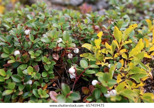 Berry Bearing Bush Called Salal Stock Photo Edit Now 657459475