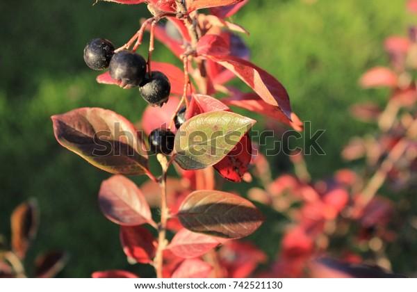 Berry Bearing Bush Displaying Autumn Colors Stock Photo Edit Now